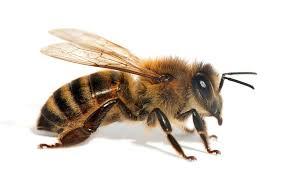 کلونی زنبور 5
